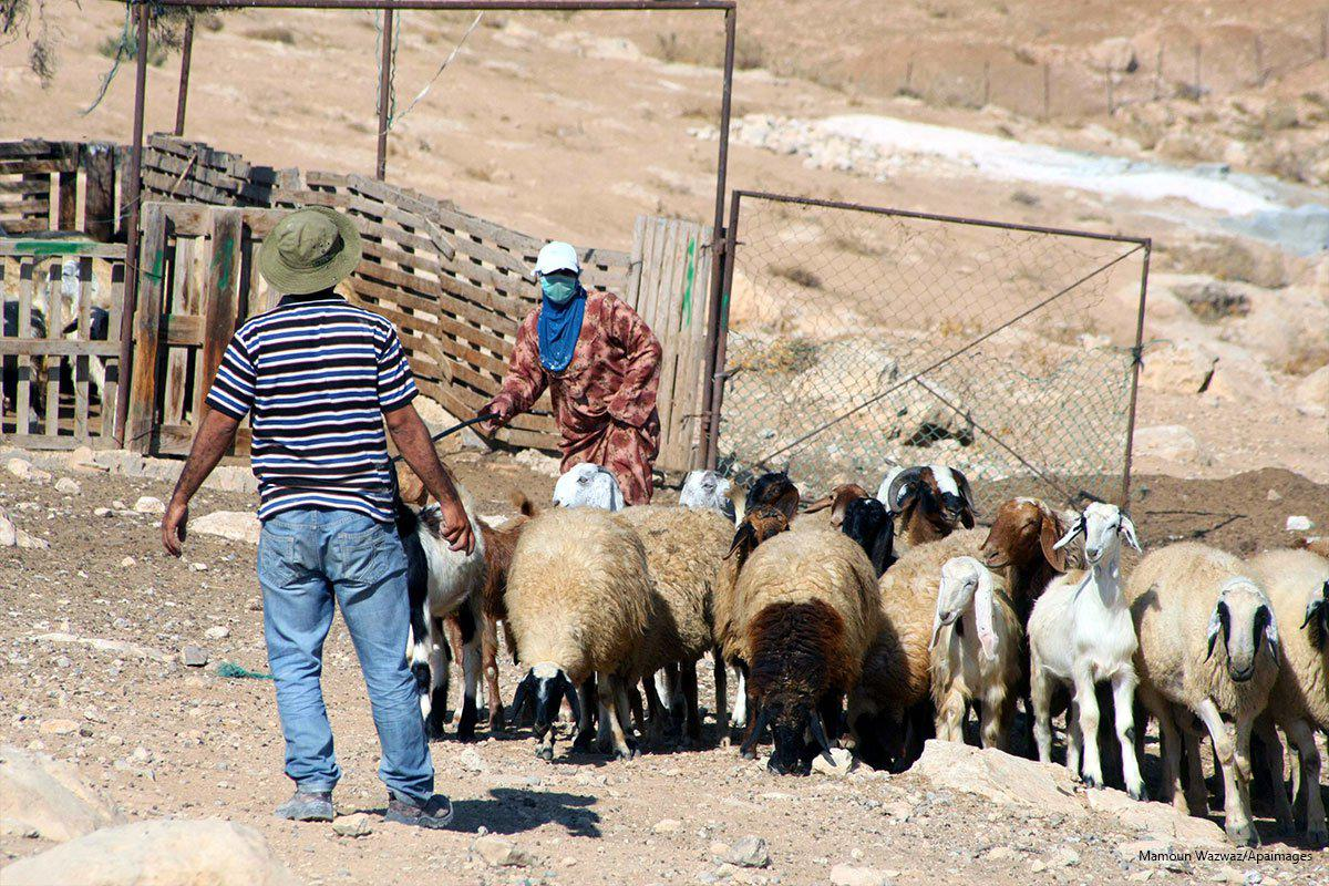 2013<em>10</em>1-a-palestinian-shepherd-leads-his-sheep-in-the-village-near-the-west-bank-city-of-hebron