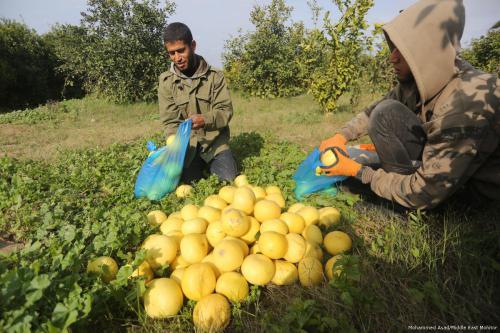 Los granjeros de Gaza recolectan el oro amarillo