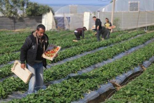 Comienza la recolección y exportación de la fresa en Gaza
